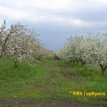 яблони цветут 1