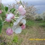 яблони цветут 3