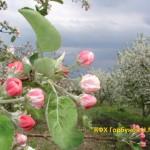 яблони цветут 4