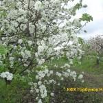 яблони цветут 5