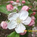 яблони цветут 7
