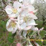 яблони цветут 8