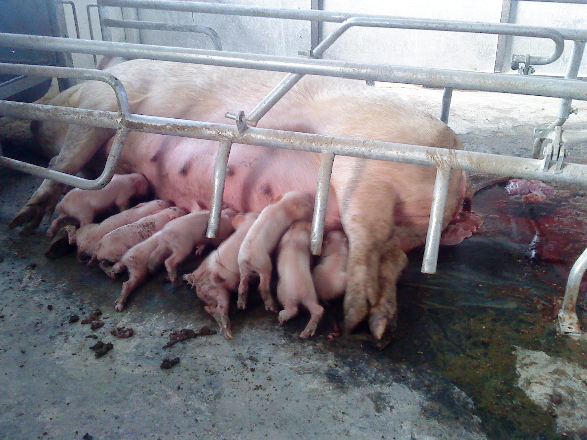 Сперма свиней видео
